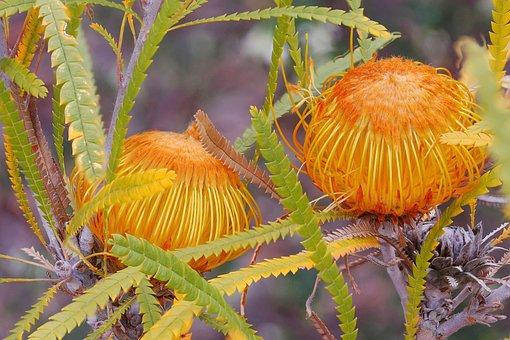 Dryandra Formosa, Protoeaceae, Focus Stack