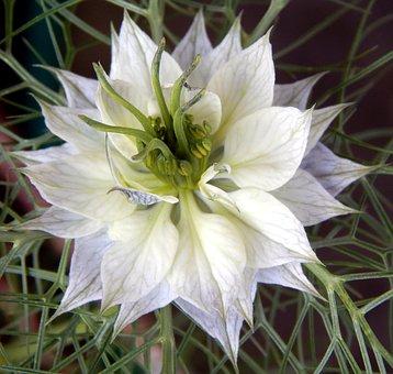 Love In A Mist, Flower, Garden, Love-in-a-mist, Bloom
