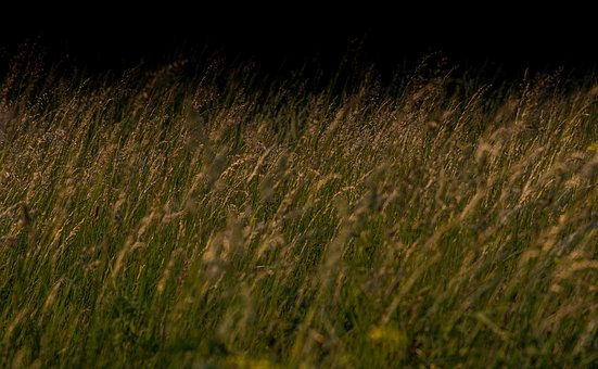 Blooming Grass On A Dark Background, Grass