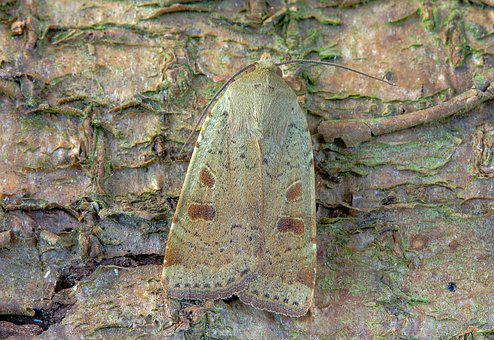Moth, Lesser-yellow-underwing, Wings, Pattern, Insect