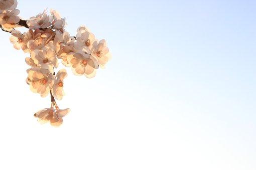 Cherry Blossom, Flowers, Nature, Spring, Beautiful