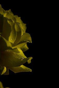 Yellow Rose, Drop, Yellow, Flower, Pink, Nature, Plants