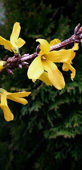 Forsycje, Spring, Nature, Plant, March, Jellow, Petals