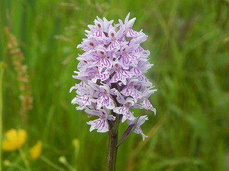 Wild Orchid, Flowers, Orchid, Bloom, Purple, Nature