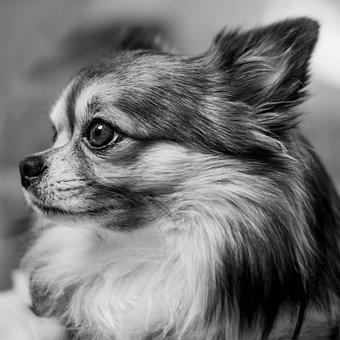 Chihuahua, Dog Portrait, Portrait, Dog, Cute, Chiwawa