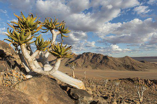 Quiver Tree, Namibia, Nature, Tree, Landscape, Travel