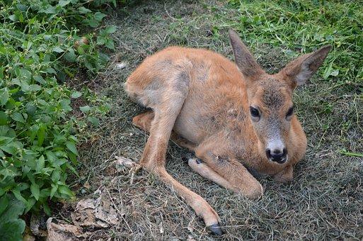 Animal, The Carpathians, Reserve