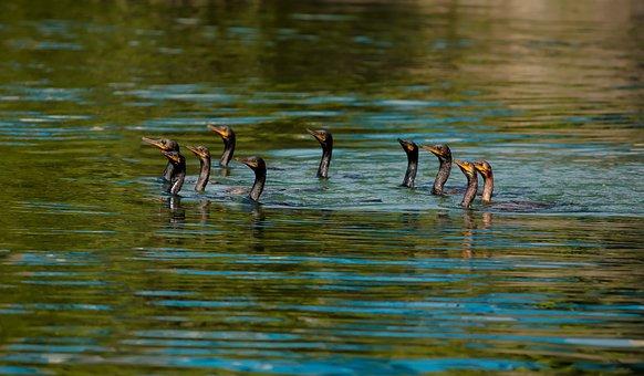 Birds, Sea Birds, Marching, Marching Birds, Sea, Nature