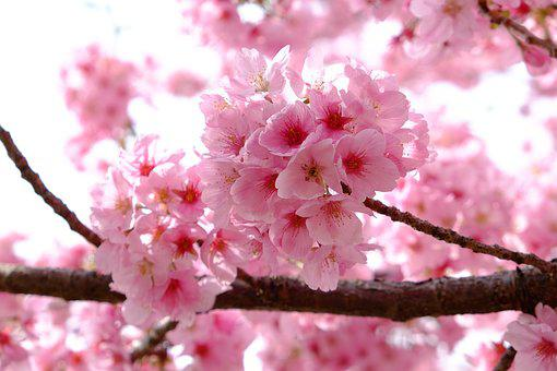 Cherry Blossom, Pink, Full Blooming, Spring, Japan