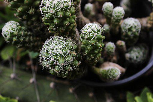 Cactus, Spina, Plant, Green, Thorny, Nature, Thorns