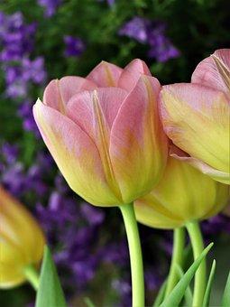 Tulip, Flower, Spring, Flowers, Tulips, Garden, Yellow