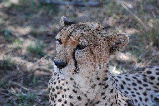 Cheetah, Wildcat, Africa
