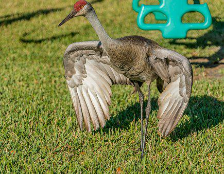 Sand Hill Crane, Endangered, Nature, Tropical, Wildlife