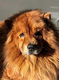Animals, Dog, Chow-chow, Cute, Portrait, Adorable