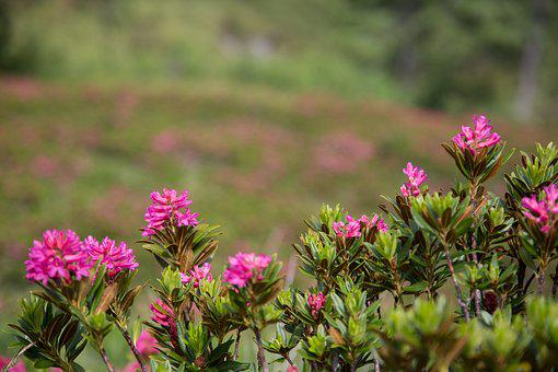 Alpine Roses, Hiking, Alpine, Nature, Mountains