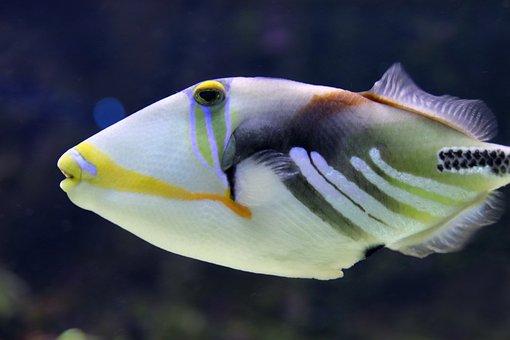 Triggerfish, Picasso Trigger Fish, Fish, Aquarium