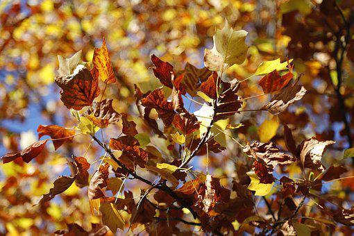 Leaves, Autumn, Tree, Nature, Forest, Colorful, Trees