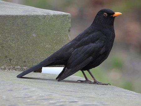 Bird, Kos Regular, Black, Park, Nature, Beak, Pen