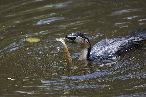 Bird, Food, Melbourne, Water, Fish