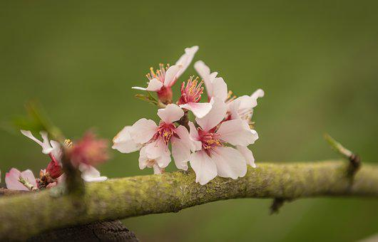 Almond Blossom, Fruit Tree, Bloom, Pink, Branch, Spring