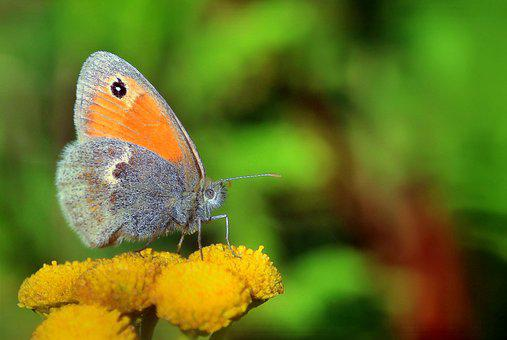 Butterfly, Insect, Nature, Summer, Wing, Animal