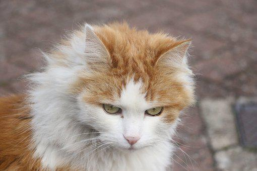 Cat, Ginger, White, Feline, Face, Looking, Look
