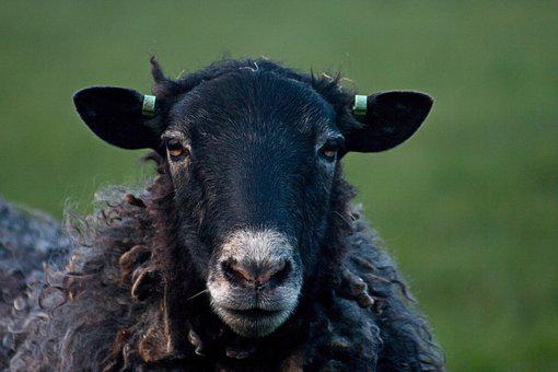 Sheep, Black Sheep, Wool, Cattle, Animals, Animal