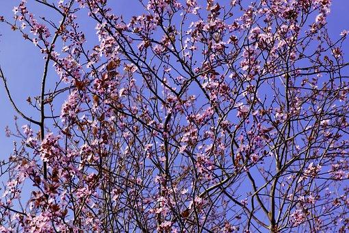 Cherry Blossom, Cherry Blossom Tree, Tree, Close Up