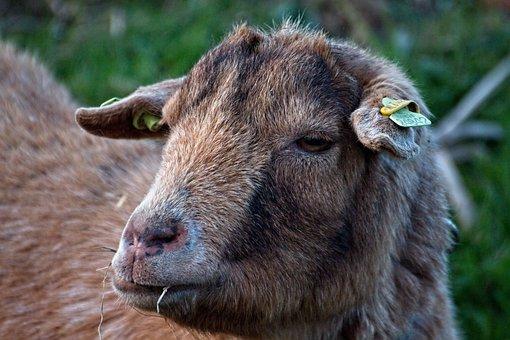 Sheep, Wool, Cattle, Animals, Animal, Countryside