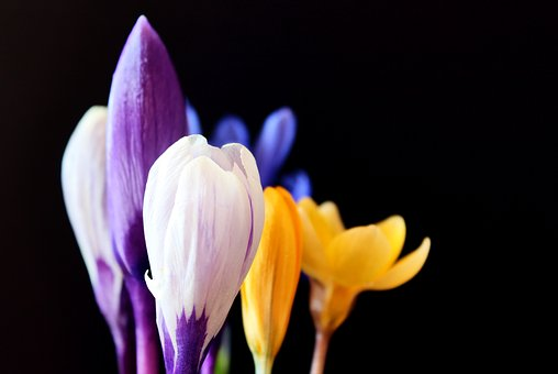 Crocus, Spring, Nature, Purple, Flowers, Early Bloomer