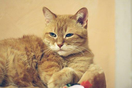 Cat, Red Cat, Red-headed Cat, Kitten, Cute, Fur, Dream