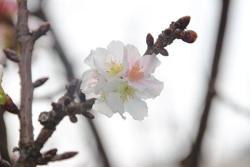 Plum Blossom, Flower, White, Bloom, Plant