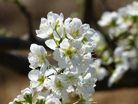 Flower, Cherry, Flowering Tree, Flowering, Knob