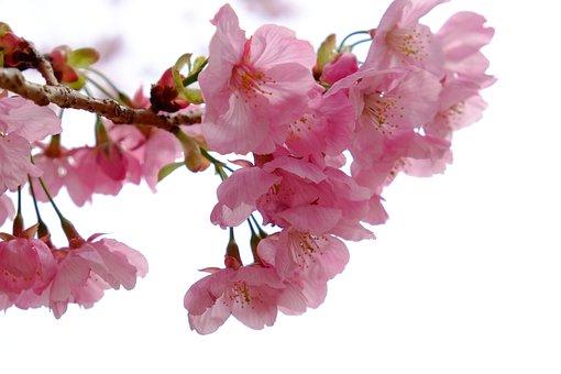 Cherry Blossom, Flower, Petals, Pink, Spring