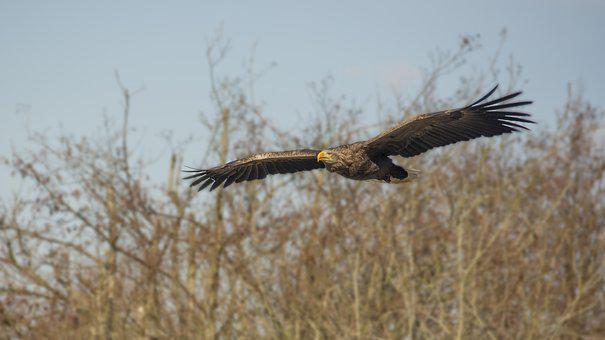 Eagle, Bird, Expensive, Bird Of Prey, Flying, Wild
