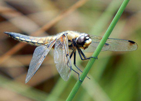 Dragonfly, Four Spotted Chaser, Nature, Flying, Insect