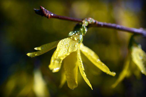 Forsythia, Gold Lilac, Golden Bells, Dewdrop