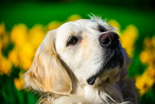 Golden Retriever, Portrait, Spring, Dog, Outdoor