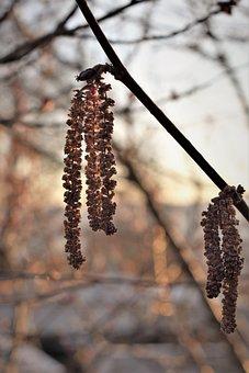 Hazel, Seeds, Dried, Spring, Backlighting, Nature