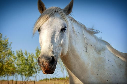 Horse, Mold, Horse Head, Animal, Pasture, Coupling