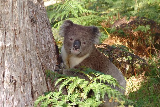 Koala, Australia, Animal, Nature, Wildlife, Marsupial