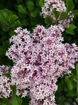 Lilacs, Spring, Flowers, Nature, Lilac, Garden, Blossom