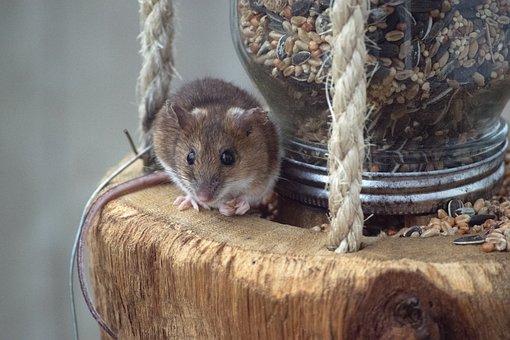 Mouse, Bird Feeding Station, Eat, Food