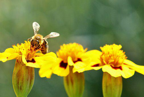Bee, Marigold, Pollination, Nature Conservation, Insect