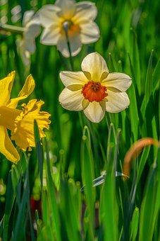 Daffodil, Flower, Plant, Amaryllis Plant, Petals