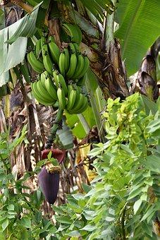 Plant, Banana Tree, Fruit, Green, Tropical, Banana