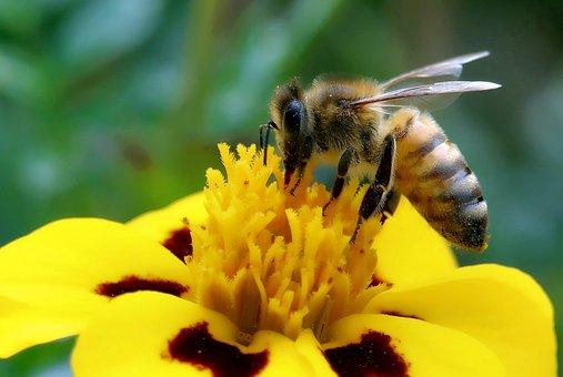 Bee, Always, Close Up, Macro, Pollen, Blossom, Bloom