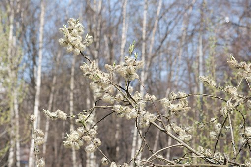 Spring, Willow, Bloom, Branches, Trees, Nature, Pollen