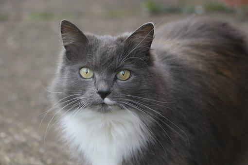 Cat, Cats Eyes, Eye, Animal, Pet, Portrait, Grey, White