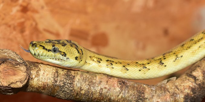 Snake, Python, Yellow, Small, Reptile, Scale, Head
